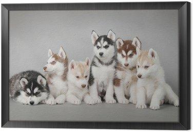 Obraz w Ramie Siberian husky szczeniak