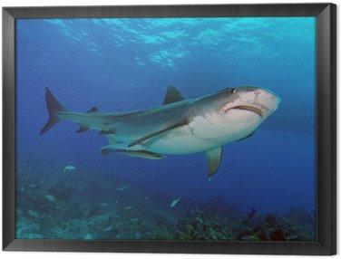 Obraz w Ramie Skutek Tiger shark