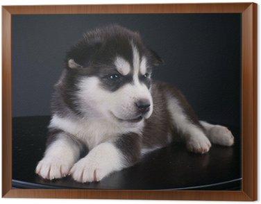 Śliczne Siberian Husky puppy
