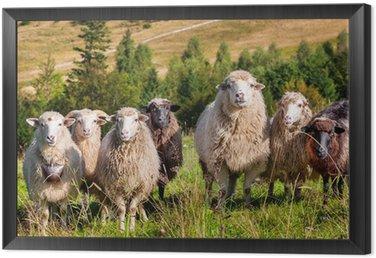 Obraz w Ramie Stado wypasu owiec na wzgórzach gór