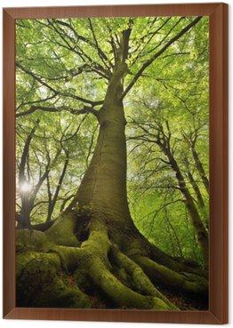Obraz w Ramie Stare drzewo buk