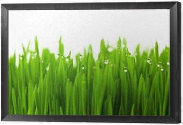 Świeża zieleń trawy pszenicy z kropli rosy / na białym tle z