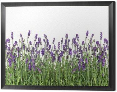 Obraz w Ramie Świeże kwiaty lawendy samodzielnie na białym tle