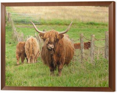 Szkocja Angus bydło