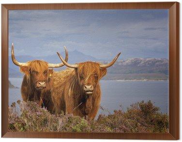 Obraz w Ramie Szkocka krowa iv
