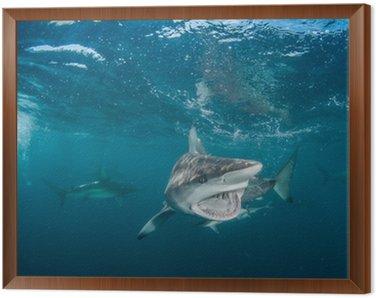 Obraz w Ramie Tiger Shark z rekinami blacktip