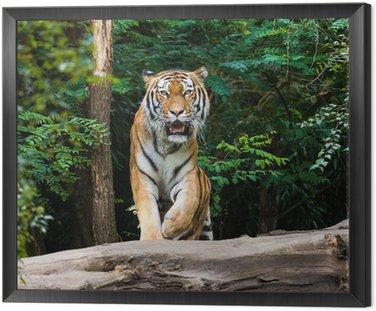 Obraz w Ramie Tygrys