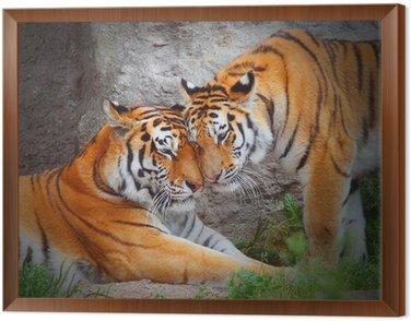 Obraz w Ramie Tygrysie para. Miłość w przyrodzie.