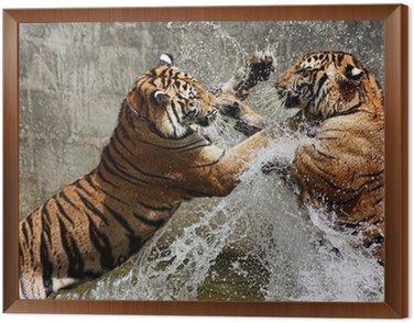 Obraz w Ramie Walka tygrysa