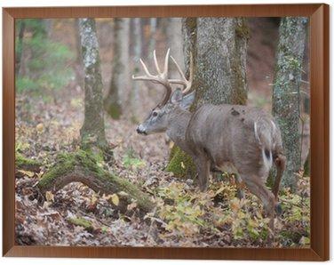 Obraz w Ramie Whitetail buck spaceru w lesie