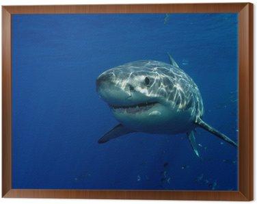 Obraz w Ramie Wielki biały rekin