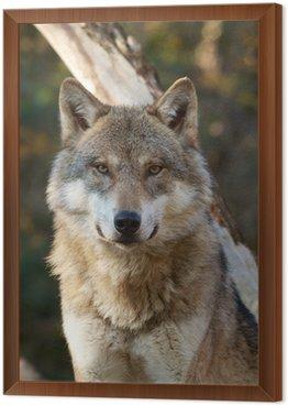 Obraz w Ramie Wilk, Canis lupus