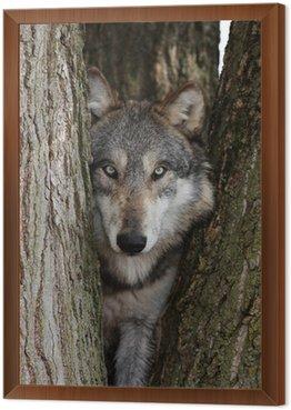 Wilk, Canis lupus