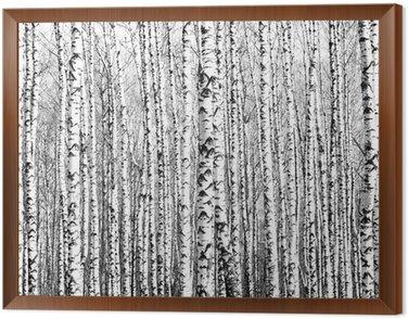 Obraz w Ramie Wiosenne pnie brzozy czerni i bieli