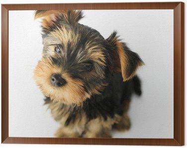 Obraz w Ramie Yorkshire terrier - Portret cute puppy