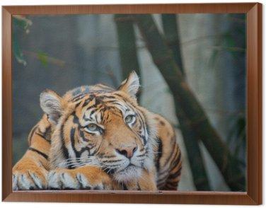 Obraz w Ramie Zagrożone Sumatran Tiger