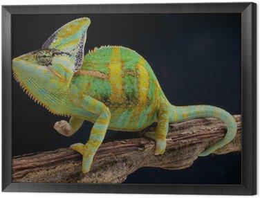 Obraz w Ramie Zakryte Chameleon (Kameleon jemeński)