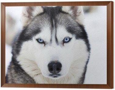 Obraz w Ramie Zamknąć się na niebieskich oczach husky