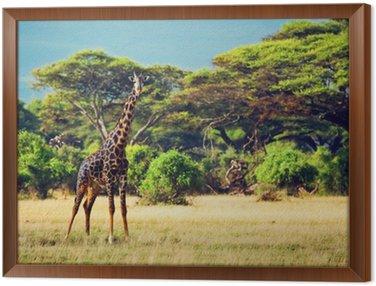 Obraz w Ramie Żyrafa na sawannie. Safari w Amboseli, Kenia, Afryka
