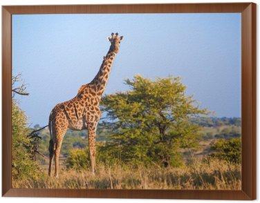 Obraz w Ramie Żyrafa na sawannie. Safari w Serengeti, Tanzania, Afryka