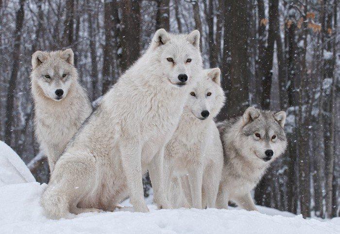 Obraz na Płótnie Pakiet wilk arktyczny - Tematy