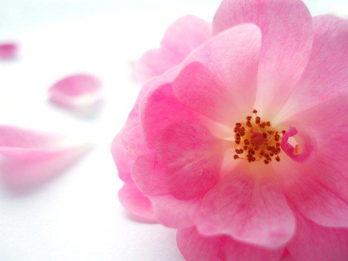 Obraz na Płótnie Pink Rose - Style