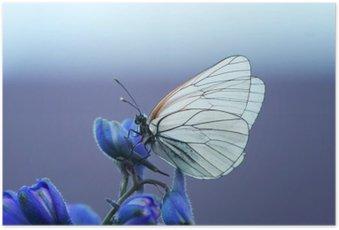 Plakát Белая бабочка на синем цветке