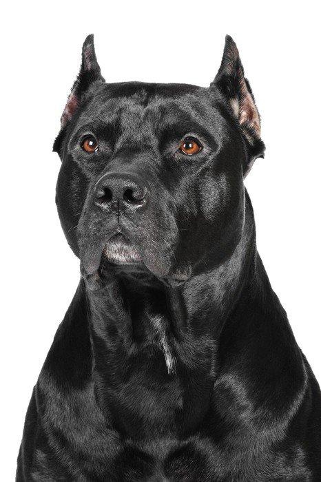 Plakát Ameriacn pittbull teriér pes ve studiu - Savci