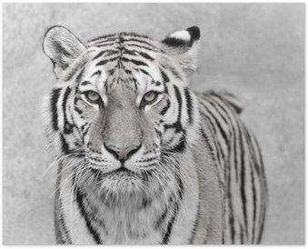Plakát Amur Tiger (Panthera tigris altaica)