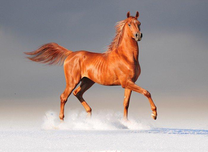 Plakát Arabský kůň v zimě -