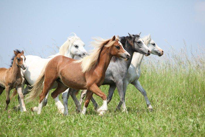 Plakát Batch velšské ponnies běží spolu na pastvinu - Témata