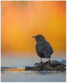 Plakát Blackbird v Jasné světlo