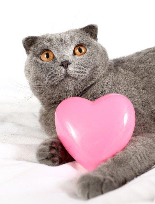 Plakát Britská modrá kočka s růžovým srdcem v tlapkami - Mezinárodní svátky