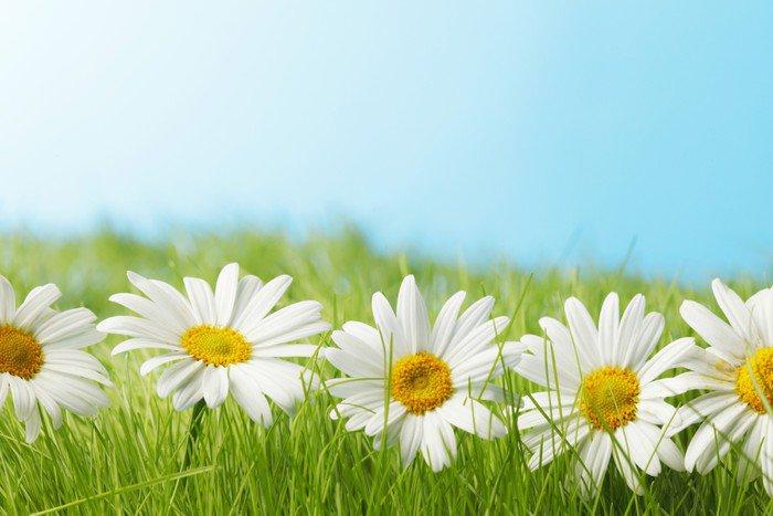 Plakát Chamomiles v trávě - Květiny