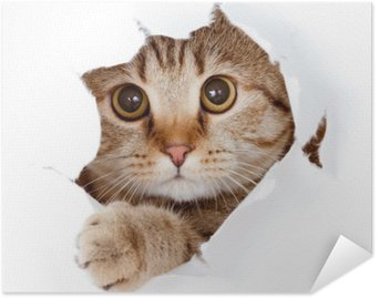 Plakat HD Kot patrząc w stronę papieru podarte izolowane otworu