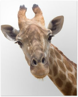 Plakat HD Żyrafa z bliska