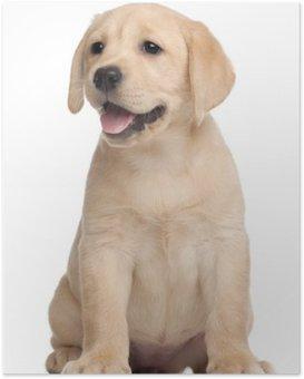 Plakát Labrador štěně, 7 týdnů, v přední části bílém pozadí