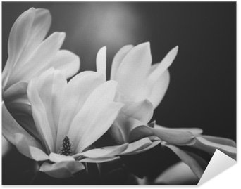 Plakát Magnolie květina na černém pozadí