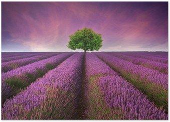 Plakát Ohromující Levandulová pole krajina Letní západ slunce s jedním stromem