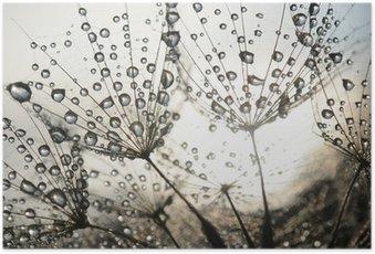 Plakát Pampeliška semena s kapkami rosy