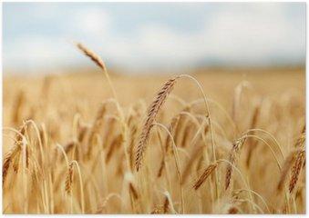 Plakát Pole obilovin s klásky zralé žita nebo pšenice