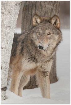 Plakát Šedý vlk (Canis lupus) nakoukne bříza