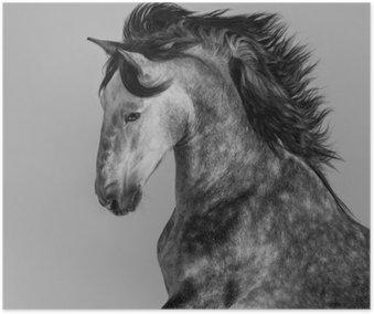 Plakát Skvrna šedý andaluský hřebec - portrét v pohybu