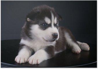 Plakat Śliczne Siberian Husky puppy