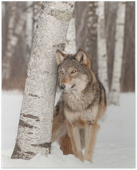 Plakát Vlk (Canis lupus) stojí vedle bříza