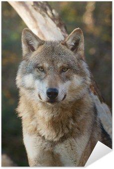 Plakát Vlk, Canis lupus