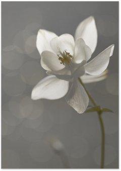 Plakát Weiße Akelei (Aquilegia) - Trauerkarte