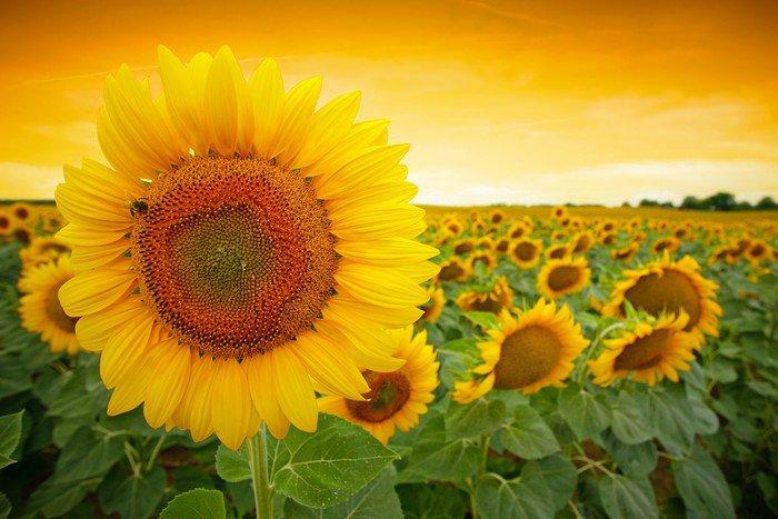 Plakat Pole słonecznika - Tematy