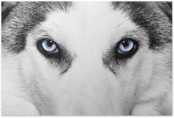 Poster Close-up Schuss von Husky-Hund
