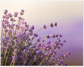 Poster Fiori di lavanda fioriscono periodo estivo